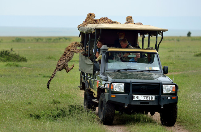 PIC FROM HERBERT SMRCEK / CATERS NEWS - (PICTURED: The cheetah about to jump into the jeep ) - **TAKEN IN THE MAASAI MARA**A cheeky cheetah got up close and personal with a tourist on safari. With its razor sharp claws and teeth, this is one moggy you certainly dont want curling up in your lap. The bold big cat jumped into the back seat of the jeep and sauntered over to where Irish tourist Mickey McCaldin was sat. Family friend David Horsey captured the tense standoff between the pair as it looked like the cheetah was going to make himself comfortable on Mickeys lap. SEE CATERS COPY.