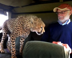 PIC FROM DAVID HORSEY / CATERS NEWS - (PICTURED: Irish tourist Mickey McCaldin gets a shock off a cheetah) -**TAKEN IN THE MAASAI MARA**A cheeky cheetah got up close and personal with a tourist on safari. With its razor sharp claws and teeth, this is one moggy you certainly dont want curling up in your lap. The bold big cat jumped into the back seat of the jeep and sauntered over to where Irish tourist Mickey McCaldin was sat. Family friend David Horsey captured the tense standoff between the pair as it looked like the cheetah was going to make himself comfortable on Mickeys lap. SEE CATERS COPY.