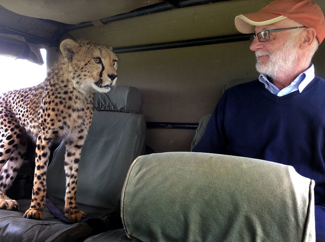 PIC FROM DAVID HORSEY / CATERS NEWS - (PICTURED: Irish tourist Mickey McCaldin gets a shock off a cheetah) **TAKEN IN THE MAASAI MARA**A cheeky cheetah got up close and personal with a tourist on safari. With its razor sharp claws and teeth, this is one moggy you certainly dont want curling up in your lap. The bold big cat jumped into the back seat of the jeep and sauntered over to where Irish tourist Mickey McCaldin was sat. Family friend David Horsey captured the tense standoff between the pair as it looked like the cheetah was going to make himself comfortable on Mickeys lap. SEE CATERS COPY.