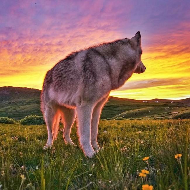 волк 7