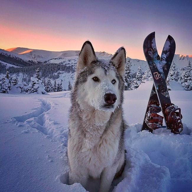 волк1