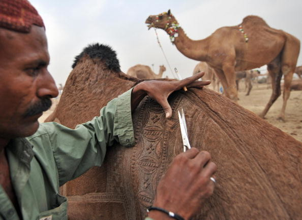 A Pakistani livestock trader decorates a camel for sale at the animal market ahead of the Muslim festival of Eid al-Adha in Karachi on December 7, 2008. Eid-ul-Adha will be celebrated in Pakistan on December 9, 2008. AFP PHOTO/Asif HASSAN (Photo credit should read ASIF HASSAN/AFP/Getty Images)