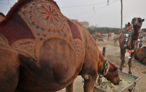 The hump of a camel is seen with a patterned haircut while on sale at a sacrificial livestock market ahead of the Muslim festival Eid al-Adha in Karachi on November 14, 2010. Eid al-Adha, which commemorates biblical patriarch Ibrahim's (or Abraham's) acceptance of God's command to sacrifice his son Ismail (or Ishmael), falls on the 10th of Dhul al-Hijja on the Islamic calendar. As Ibrahim was allowed to sacrifice a ram instead, Muslim families mark the day by ritually sacrificinga sheep, goats, cows and other livestock, the meat of which is also shared with the needy. AFP PHOTO/Rizwan TABASSUM (Photo credit should read RIZWAN TABASSUM/AFP/Getty Images)
