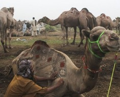 "LAHORE, PAKISTAN - SEPTEMBER 21: A Pakistani camel trader decorates his camel for customer attraction at an animal market set up for the upcoming Muslim sacrificial festival ""Eid al-Adha"" on September 21, 2015 in Lahore, Pakistan. (Photo by Rana Irfan Ali /Anadolu Agency/Getty Images)"