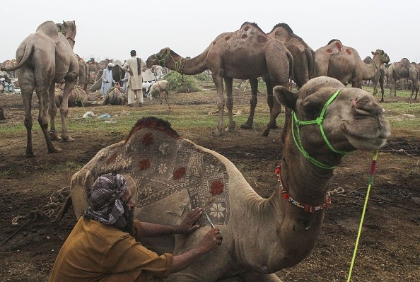"""LAHORE, PAKISTAN - SEPTEMBER 21: A Pakistani camel trader decorates his camel for customer attraction at an animal market set up for the upcoming Muslim sacrificial festival """"Eid al-Adha"""" on September 21, 2015 in Lahore, Pakistan. (Photo by Rana Irfan Ali /Anadolu Agency/Getty Images)"""
